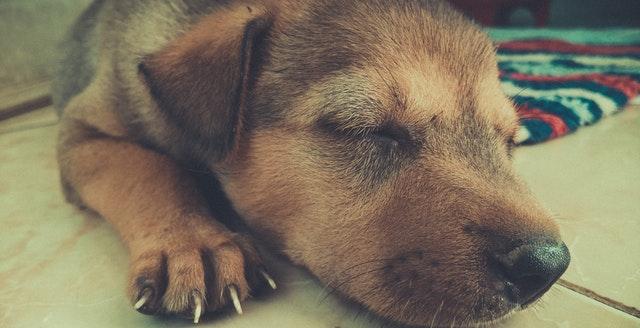 hundehvalps søvn