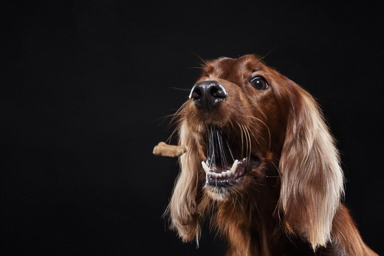 hund vil ikke spise