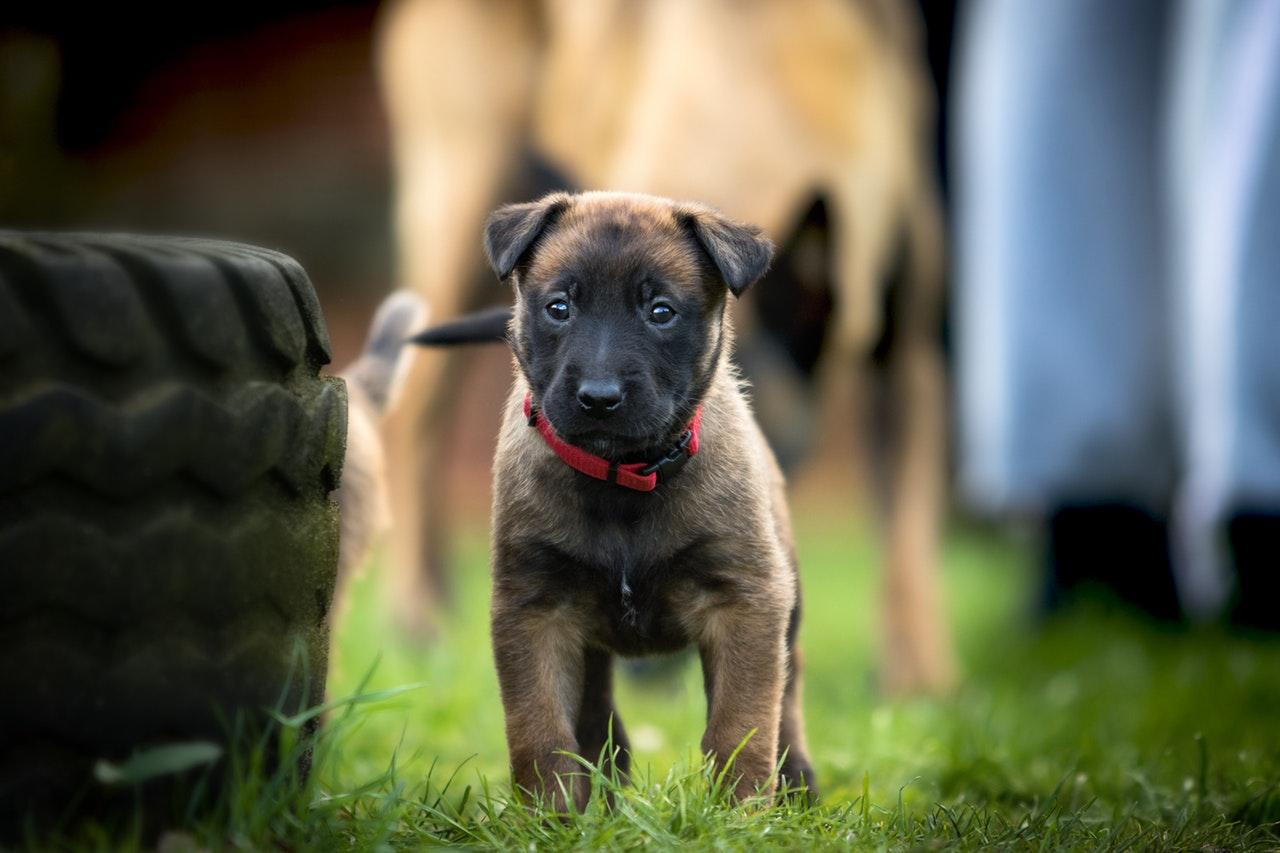 hvordan opdrager man en hundehvalp
