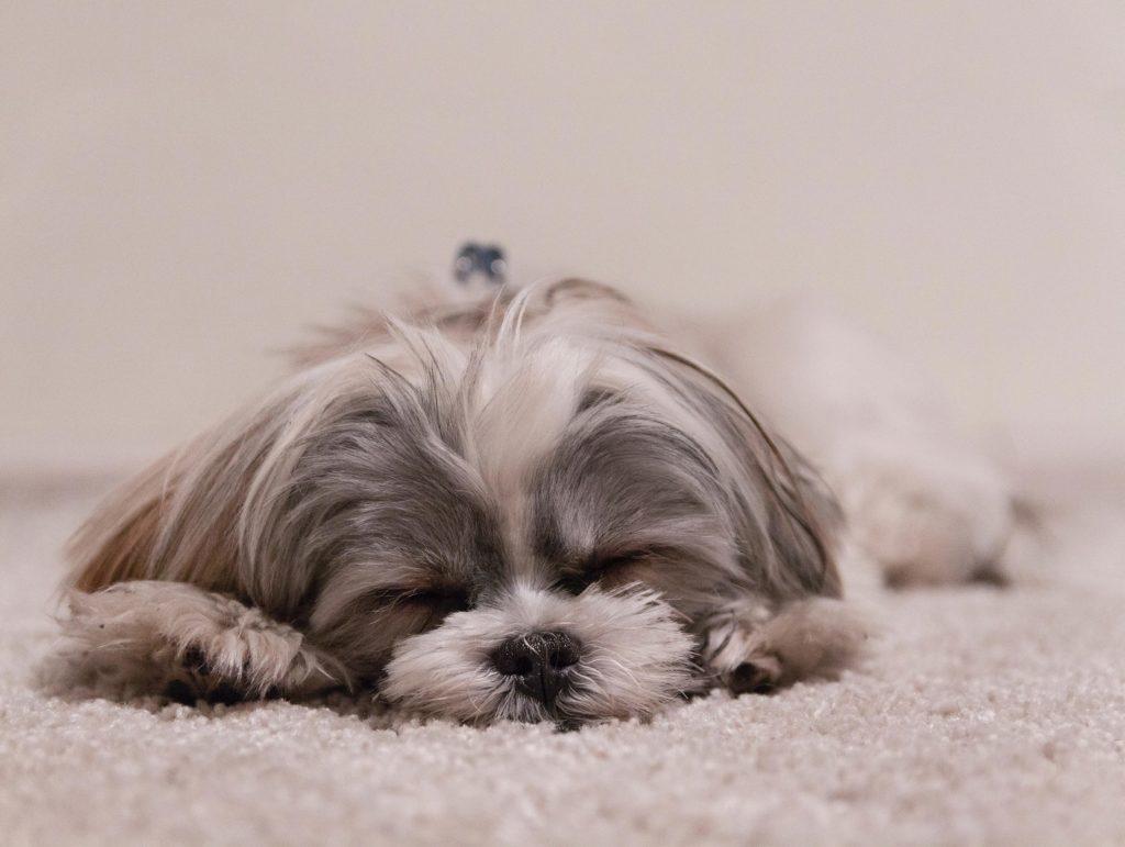 lille hund sover