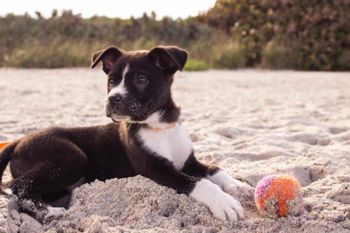 hvalp på stranden med bold