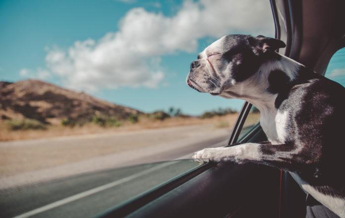 Fransk bulldog med hovedet ud af bilrude
