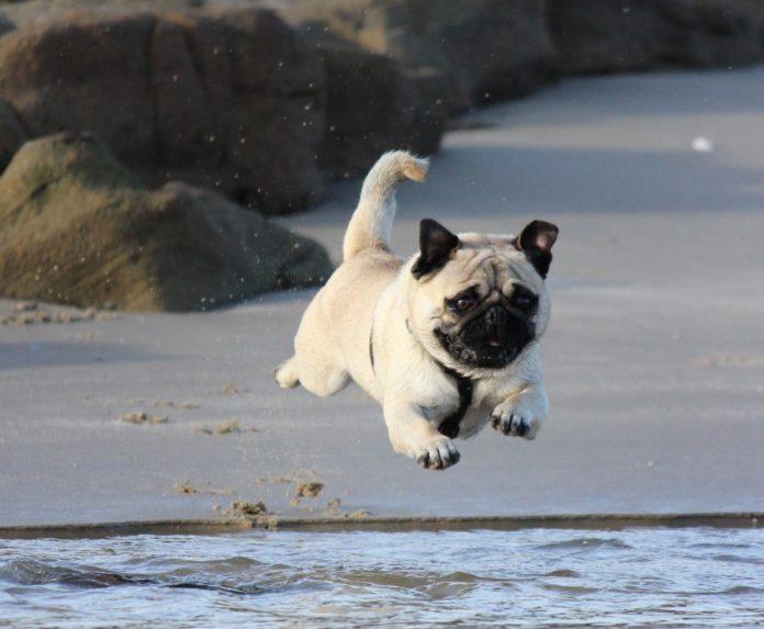 hund der hopper i løb