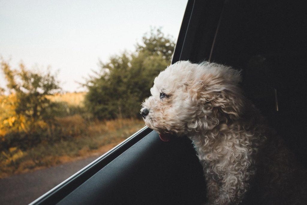 lille hvis hund med hovedet lidt ude af bilrude