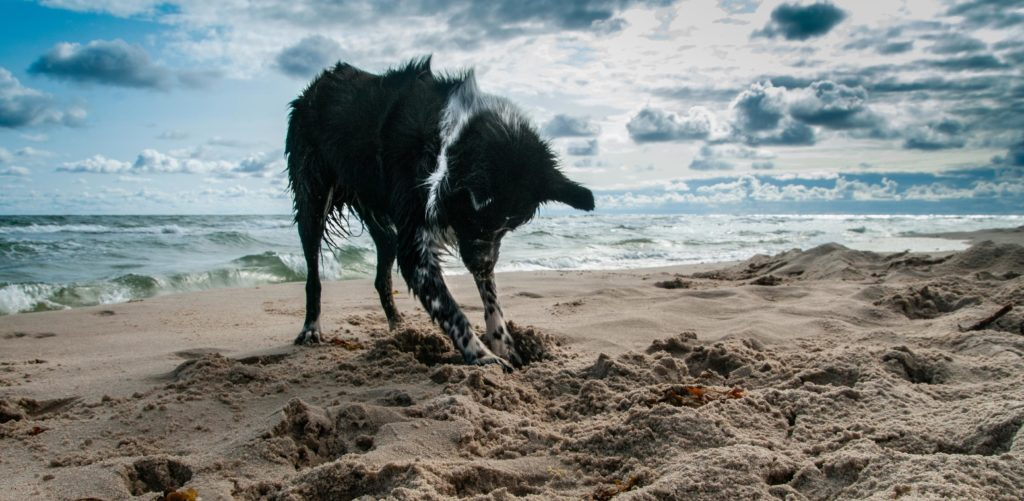 hund der graver i sandet på stranden