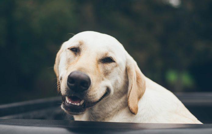 smilende labrador