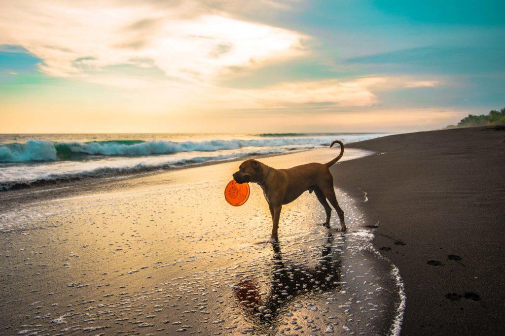 hund på stranden med frisbee
