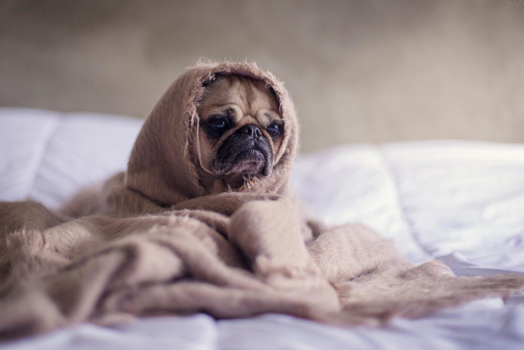 hund pakket ind i tæppe