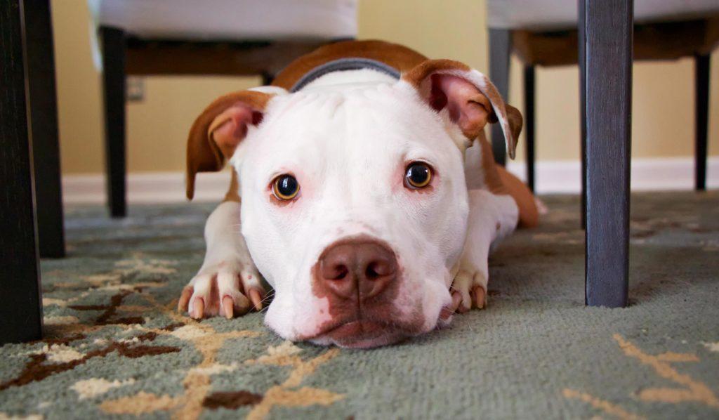 hund ligger på gulv
