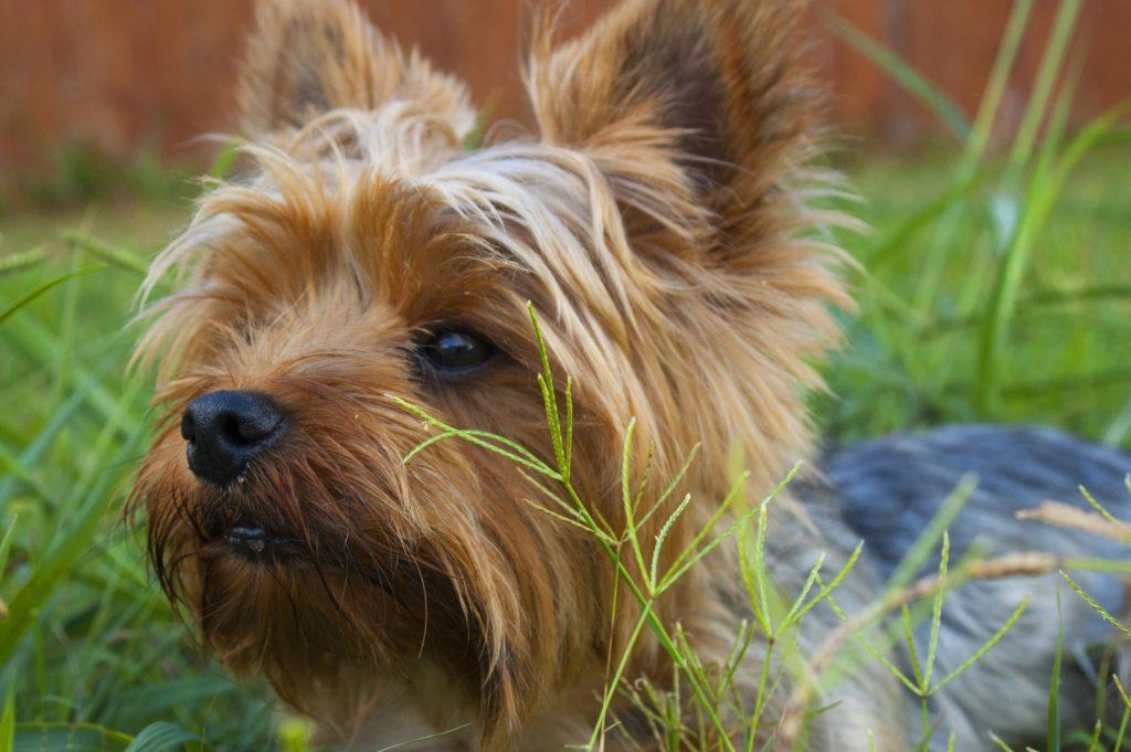 lille brun hund, der ligger i græs