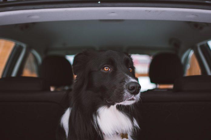 hund i bagagerum