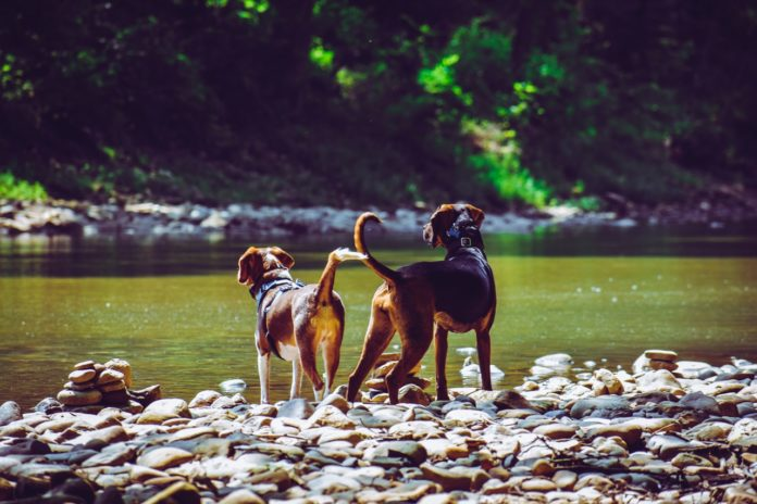 Hunde parring